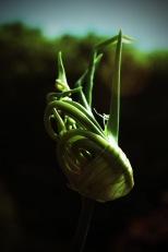 lomo seed head