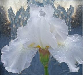winter iris final